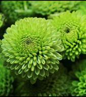 chrysanthemums-bouquet-builder-the-little-flower-shop-florist