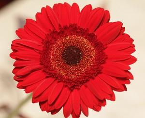 bouquet-builder-red-gerberas-build a bouquet online the little flower shop -GERBERAS-revised