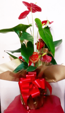 red anthurium plant_order indoor plants online_anthurium plants online-the-littlwe-flower-shop-florist-london-clapham-brixton-anthuriums-plant-shop-online-exotic-indoor-plants